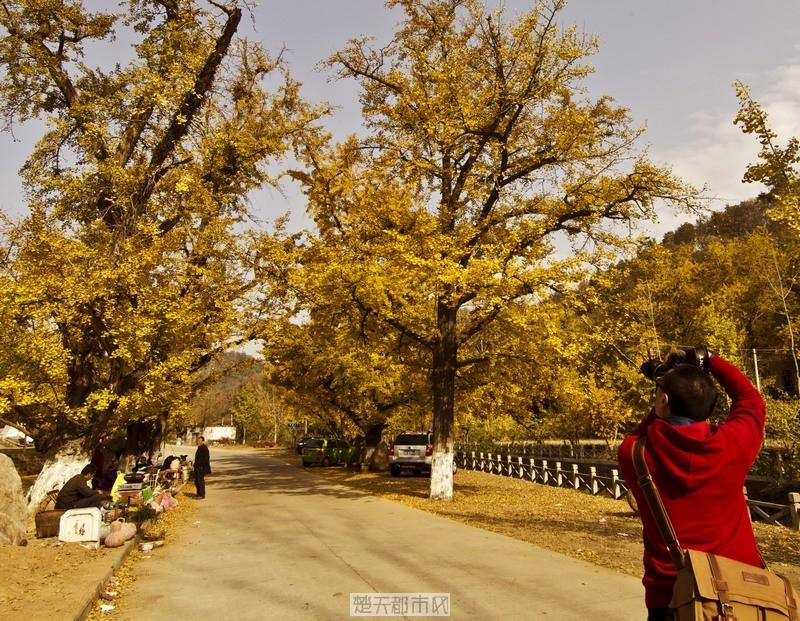 游人在拍银杏树美景景