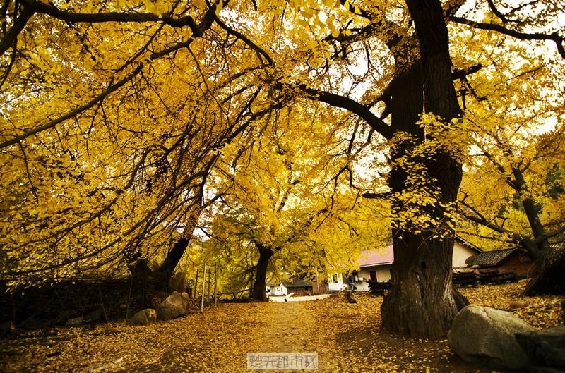 随州洛阳镇醉人的千年银杏谷风景