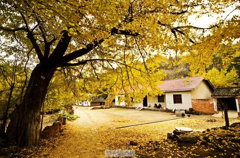 金黄银杏树下的农家小院