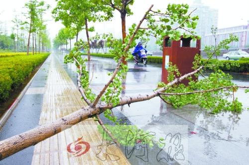 被风刮倒的新栽银杏树