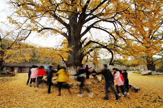300多年树龄的古银杏树