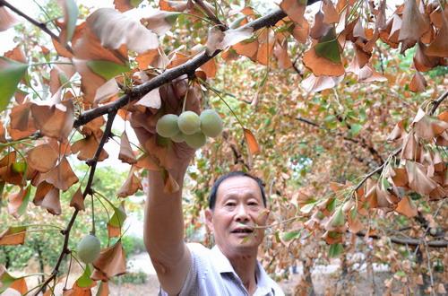 村民在摘除银杏果,保护银杏树水分
