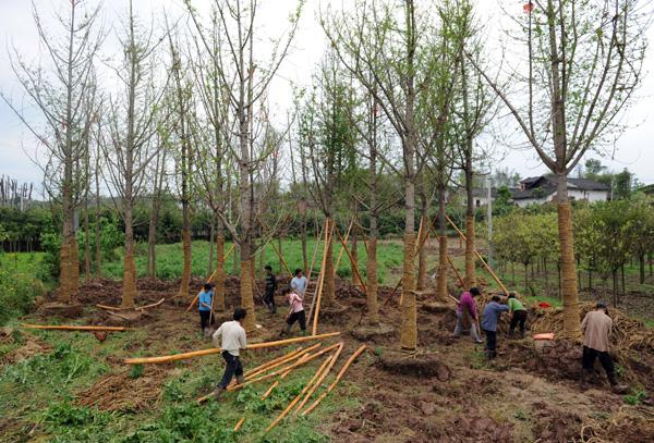 入秋季节人们正在移栽银杏树