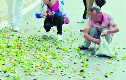 偷打银杏的游客正捡拾银杏果