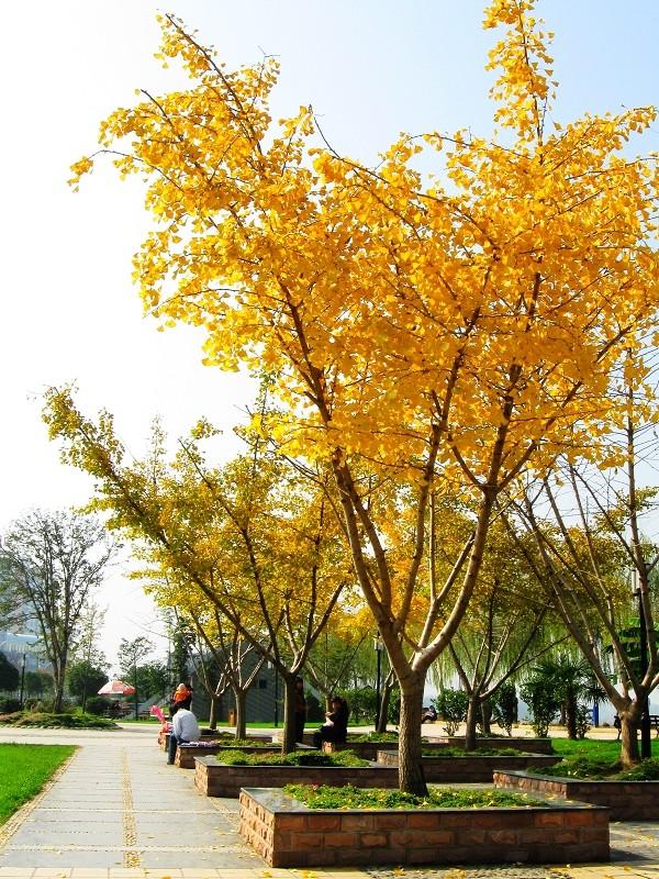 嫁接银杏树图片