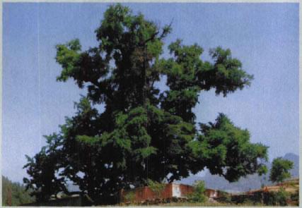 传说李白栽的银杏树雄树上寄生着两株桑树 生机勃勃