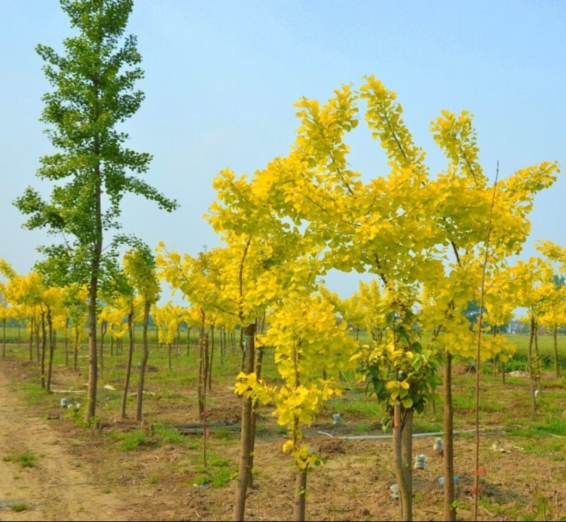 美丽的金叶银杏树图片