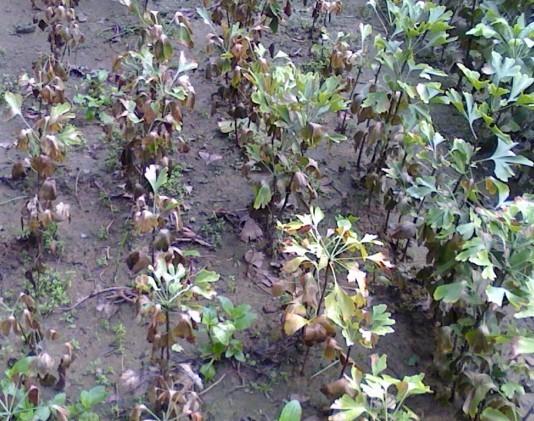 暴雨之后地温高热枯死的银杏小苗