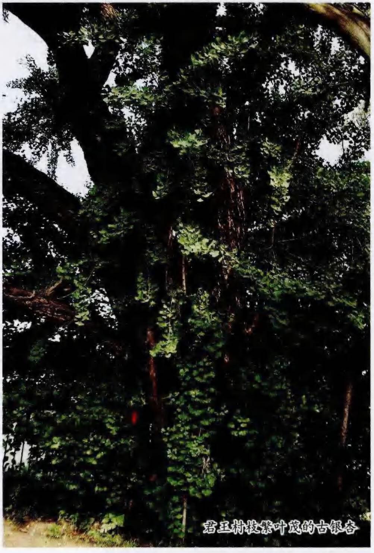 君王村枝繁叶茂的古银杏树