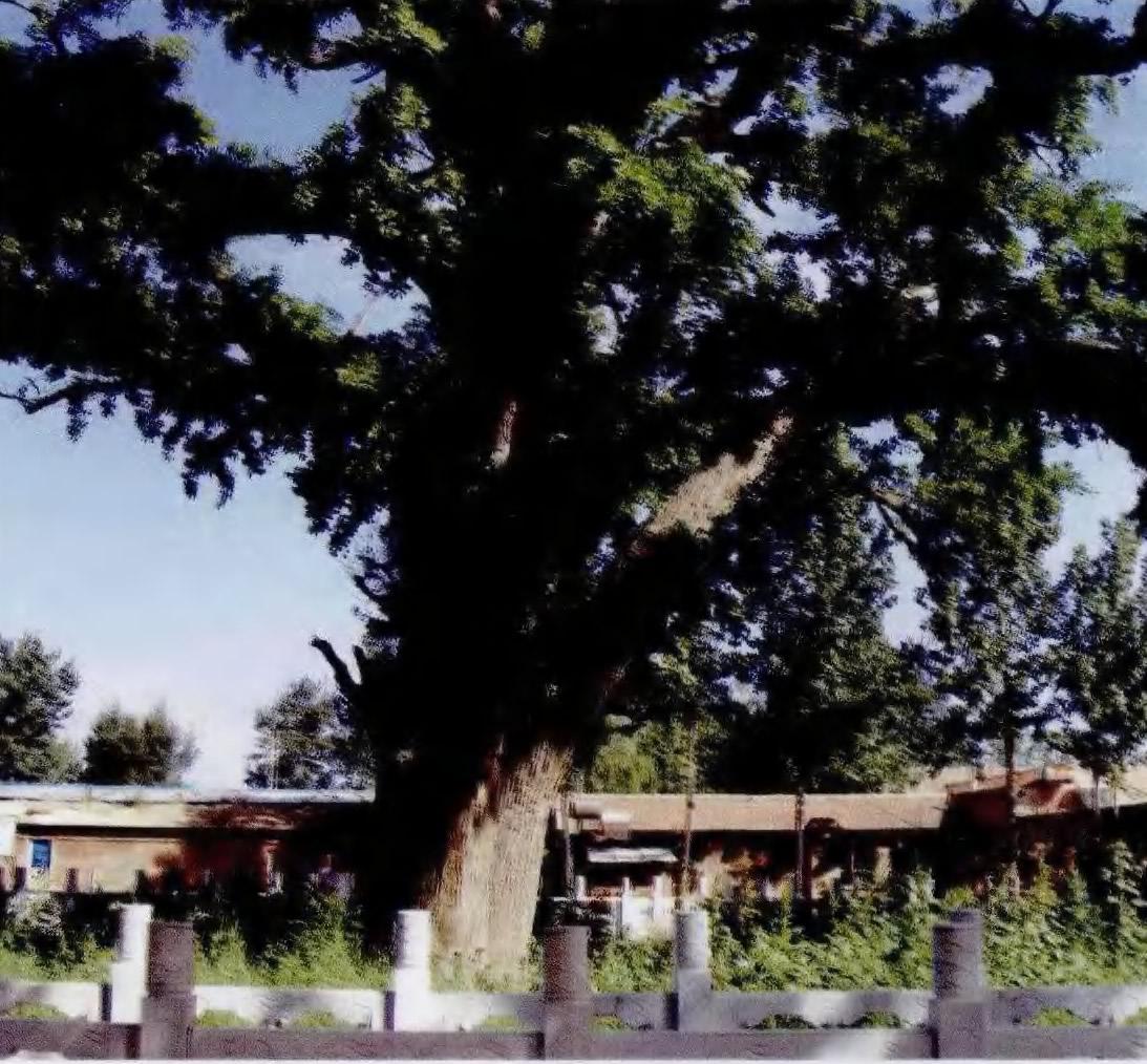 见证香河历史的古银杏树