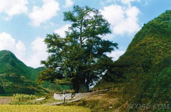 贵州福泉有一棵世界最大银杏古树