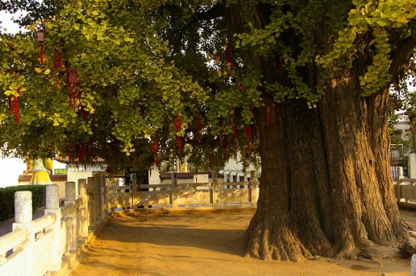 山东省郯城县重坊镇树龄三千多年的银杏树