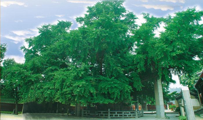 莒县夏季翠绿的千年银杏古树