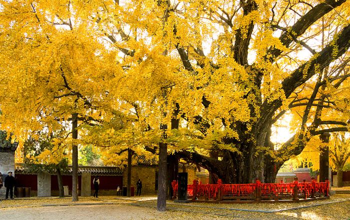 莒的千年古银杏树秋天金黄的景色