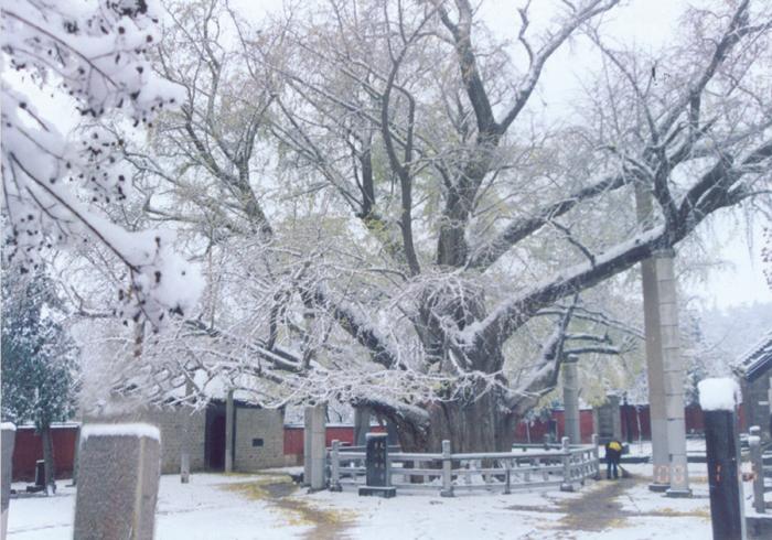 莒县冬季白雪皑皑的千年古银杏树